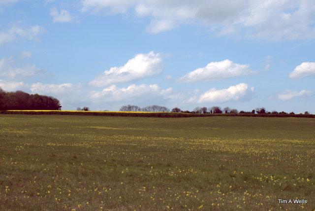 Cowslips field